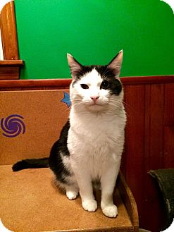 Domestic Shorthair Cat for adoption in Rochester, Minnesota - Jasper
