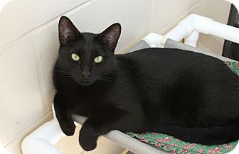 American Shorthair Cat for adoption in Ruskin, Florida - Noir