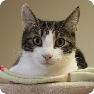 Domestic Shorthair Cat for adoption in Naperville, Illinois - Scooby
