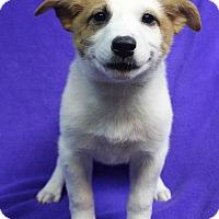 Adopt A Pet :: SPIRIT - Westminster, CO