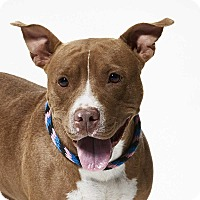 Pit Bull Terrier Mix Dog for adoption in Dallas, Texas - Daisy
