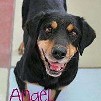 Adopt A Pet :: Angel - courtesy listing - Westminster, CO