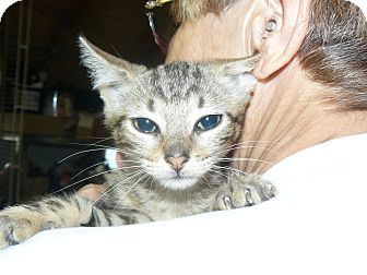 Domestic Mediumhair Kitten for adoption in Island Park, New York - Marley
