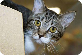 Domestic Shorthair Kitten for adoption in Irvine, California - Double Jinx