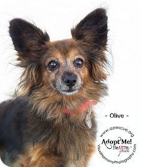 Papillon Mix Dog for adoption in Phoenix, Arizona - Olive