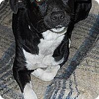 Adopt A Pet :: Storm - dewey, AZ