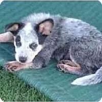 Adopt A Pet :: Sonic *ADOPTION PENDING* - Phoenix, AZ