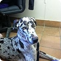 Adopt A Pet :: Cora - Phoenixville, PA