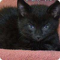 Adopt A Pet :: BEAR - Acme, PA