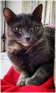 Domestic Shorthair Cat for adoption in Huntington, New York - Laura