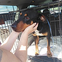 Doberman Pinscher Mix Dog for adoption in springtown, Texas - Dory