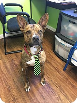 Australian Cattle Dog Mix Dog for adoption in Broadway, New Jersey - Martin