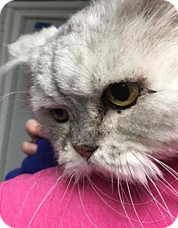 Persian Cat for adoption in Voorhees, New Jersey - Miss Millie Muffet-16 years ol