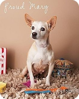 Chihuahua Mix Dog for adoption in Mesa, Arizona - Proud Mary