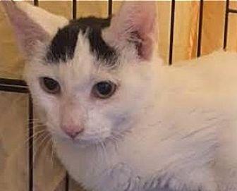Turkish Van Cat for adoption in LaJolla, California - Indy