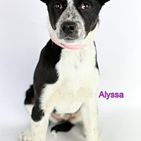 Adopt A Pet :: Alyssa - Bloomington, MN