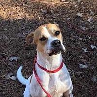 Boxer/Hound (Unknown Type) Mix Dog for adoption in Summerville, South Carolina - Sammie