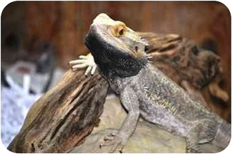 Lizard for adoption in Longmont, Colorado - Puff