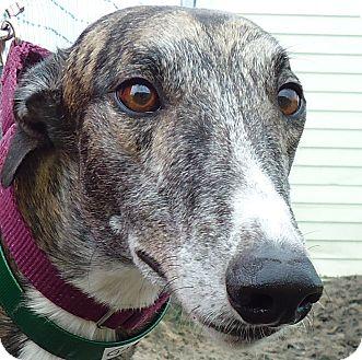 Greyhound Dog for adoption in Longwood, Florida - BG Gator Bait