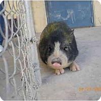 Adopt A Pet :: George - Las Vegas, NV