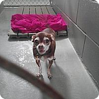 Adopt A Pet :: Beast - Fort Riley, KS