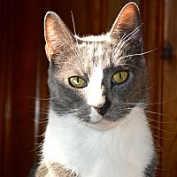 Domestic Shorthair Cat for adoption in Staten Island, New York - Simon/Theodore