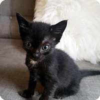 Domestic Shorthair Kitten for adoption in Austin, Texas - Sage