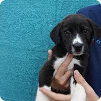 Adopt A Pet :: Peppi - Oviedo, FL