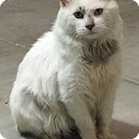 Turkish Angora Cat for adoption in Yorba Linda, California - Izzy