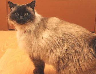 Siamese Cat for adoption in Springfield, Oregon - Latte