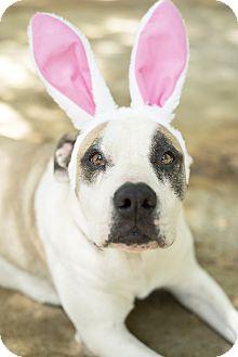 American Bulldog Mix Dog for adoption in Key Biscayne, Florida - Dagz