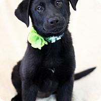Adopt A Pet :: Summer - Dalton, GA