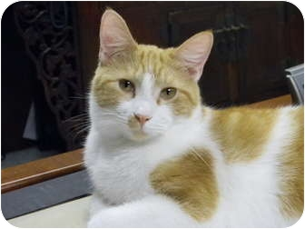 Domestic Shorthair Cat for adoption in Naples, Florida - OLIVER