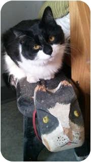 Domestic Mediumhair Cat for adoption in Anchorage, Alaska - Oreo