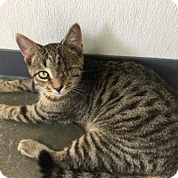 American Shorthair Cat for adoption in Manteo, North Carolina - Churchill