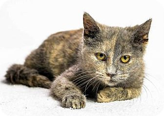 Domestic Shorthair Cat for adoption in Oxford, Mississippi - Juliane