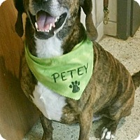 Adopt A Pet :: Petey 2017 (m/c)PENDING - Chesterfield, MI