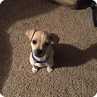 Adopt A Pet :: Archie Manning - Pendleton, NY