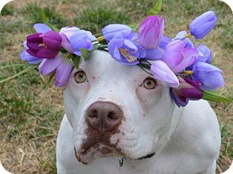 American Bulldog Mix Dog for adoption in Manhattan, New York - Cadance