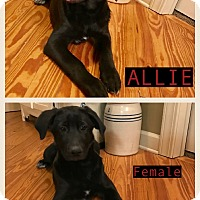 Adopt A Pet :: Allie 2 - pending adoption - Manchester, CT