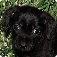 Adopt A Pet :: Rocky Road - San Jose, CA