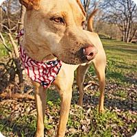 Labrador Retriever/Shar Pei Mix Dog for adoption in Converse, Texas - Arcanine