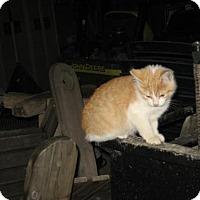 Adopt A Pet :: Marmalad - Hamilton, ON