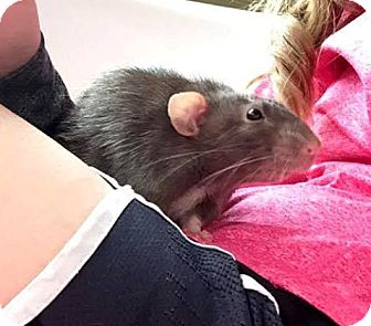 Rat for adoption in St. Paul, Minnesota - Plato