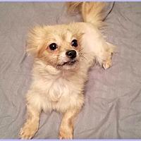 Pomeranian Dog for adoption in Dallas, Texas - Sammy