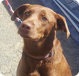 Border Collie Mix Dog for adoption in Corning, California - DANCER
