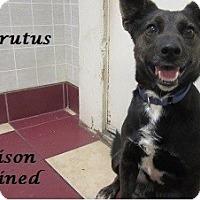 Adopt A Pet :: Brutus - Bartonsville, PA