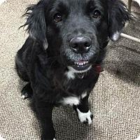 Adopt A Pet :: Sasha - Adoption Pending - Lee's Summit, MO