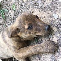 Adopt A Pet :: Italy - Spring, TX
