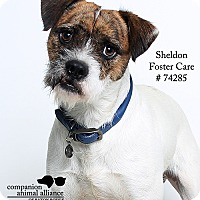 Adopt A Pet :: Sheldon  (Foster Care) - Baton Rouge, LA